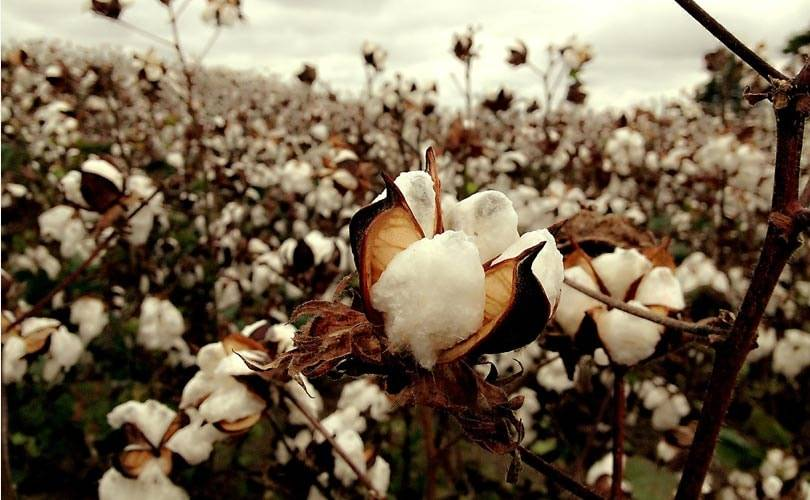 How cotton picked with forced labor in Turkmenistan finds its way to the high street