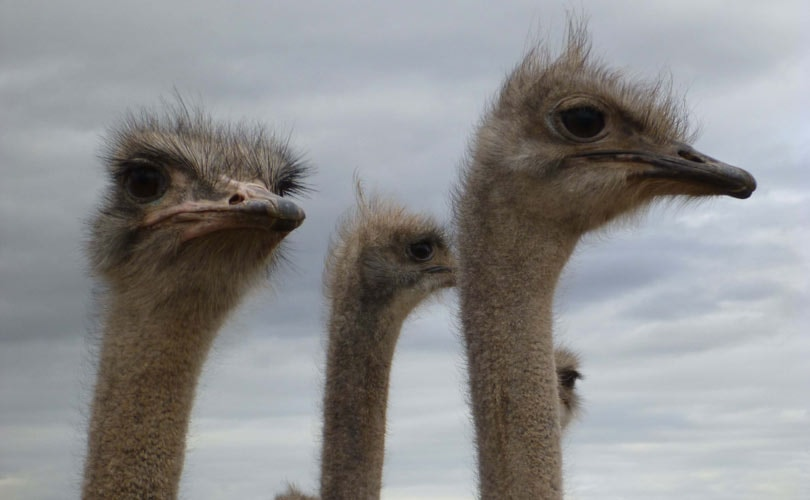PETA reveals abuse at Ostrich suppliers for Prada and Hermès